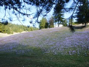 Crocus fields in Rozen